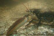Lobster2
