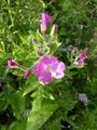 Great Willowherb.JPG