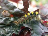Vapourer larva ex7227 (800)