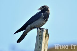 Hooded Crow (S.Allen)