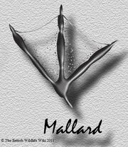 Mallardtracks