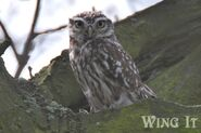 Little Owl (S.Allen)