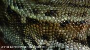 Common Lizard Flank