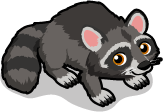 Raccoon single