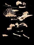 Anteater skeleton an