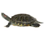 Red eared slider turtle species