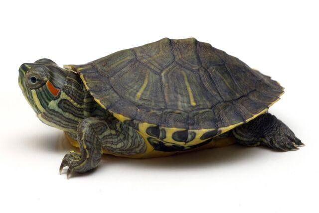 File:Baby-Red-Ear-Turtle-Pic.jpg