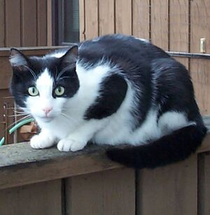 Black white cat on fence
