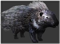 Porcupine thumb