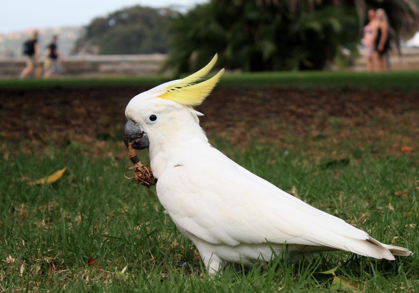 Файл:Cockatoo.jpg