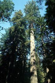 397px-Coastal redwood