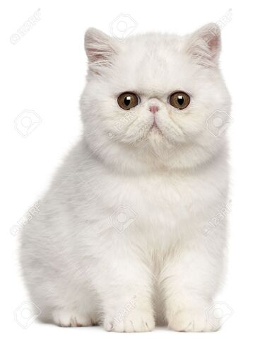 File:8650546-Exotic-Shorthair-kitten-4-months-old-sitting-in-front-of-white-background-Stock-Photo.jpeg