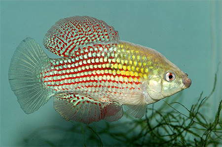 File:Flagfish.jpg