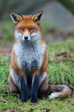 Fox study 6-1-
