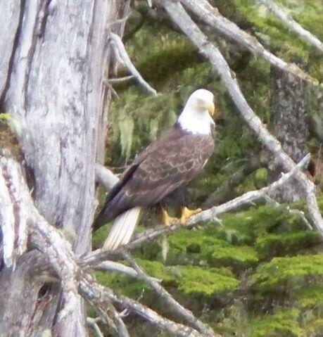 File:Nice eagle in the wild.jpg