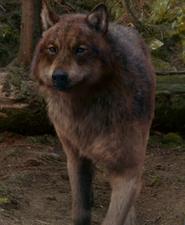 Eclipse 12 wolf jake