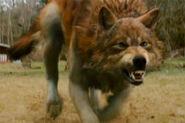 New-moon-jacob-wolf