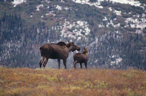 File:Denali wildlife.jpg