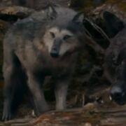 Embrycallinwolfform.jpg