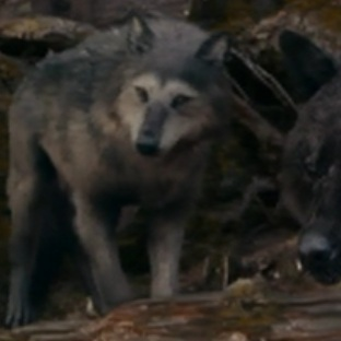 File:Embrycallinwolfform.jpg