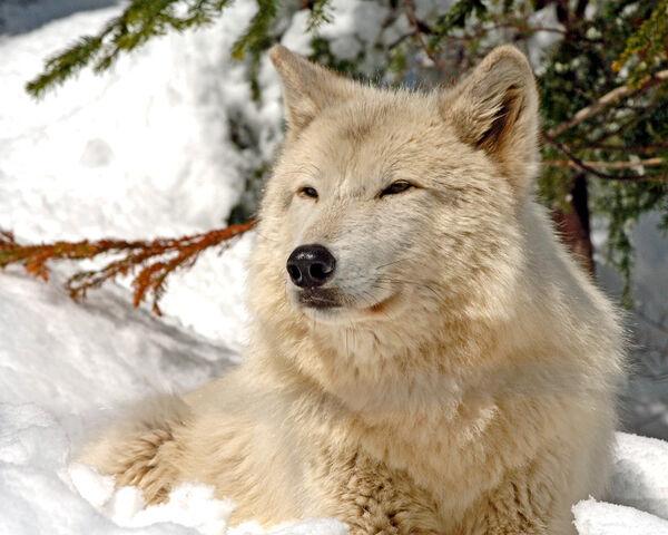 File:Wolf Sethy.jpg