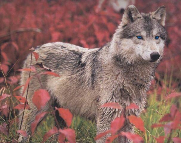 File:Rain in wolf form by Brambleclaw4evr.jpg