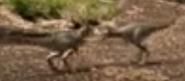True Tyrannosaurus Chicks