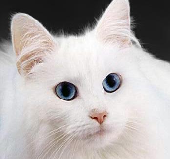 File:WhiteCat.jpg