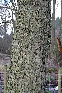 File:Alder bark.jpg