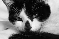 Dukecat