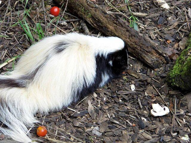 File:Cute little skunky by volk1980-d6qh1oh.jpg