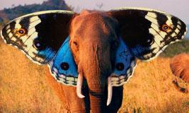File:Elefante-mariposa-tt.jpg