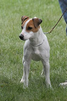 State Dog-1 - Jack Russell Terrier
