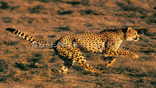 State Grassland Animal-Cheetah