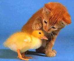 File:Kitten and Duckling.jpg