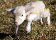 800px-Lamb first steps (edited)