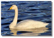 Swan whooper