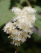 Filipendula-ulmaria-meadow-sweet-for-ponds-bog-gardens-woodlands-233-p