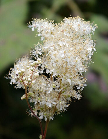 File:Filipendula-ulmaria-meadow-sweet-for-ponds-bog-gardens-woodlands-233-p.jpg