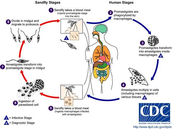 File:Leishmania cdc.jpg
