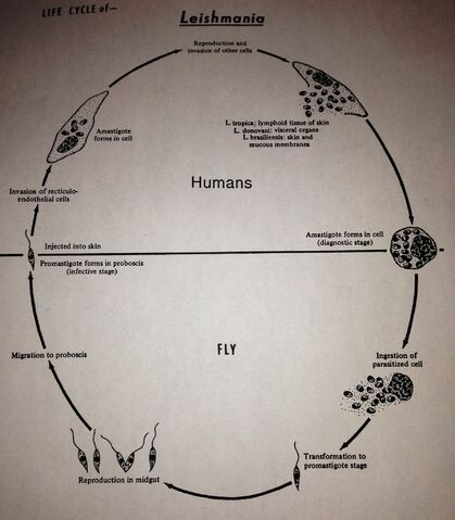 File:Leishmania lifecycle.jpg