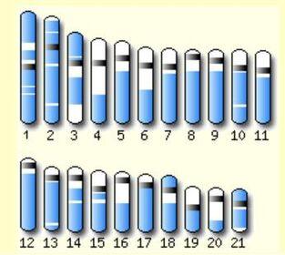 Tetraodon chromosomes