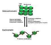 Euchromatin-2