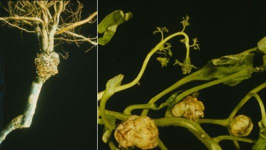 File:Pomae Agrobacterium tumefaciens.jpeg