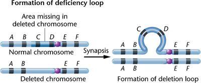 08 15c-chromosome deletion-loop