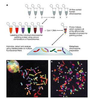 Multicolored chromosomes