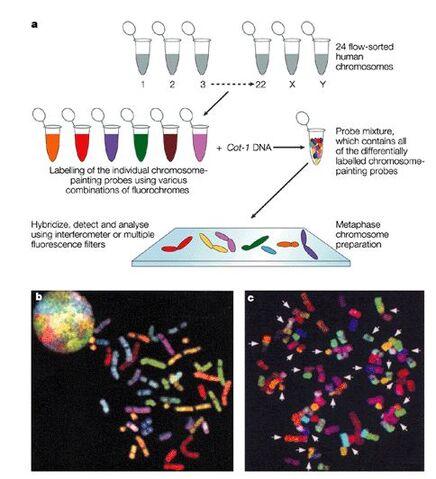 File:Multicolored chromosomes.jpg
