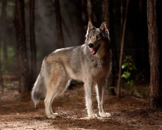 File:Real-Wolf.jpg