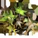 Poisonwood leaves