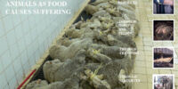 The use of non-human animal products as food causes suffering